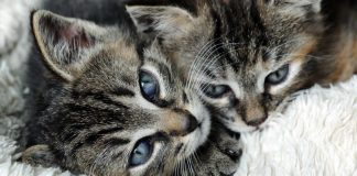 Image of two cute kittens secure they are protected by a cat insurance policy