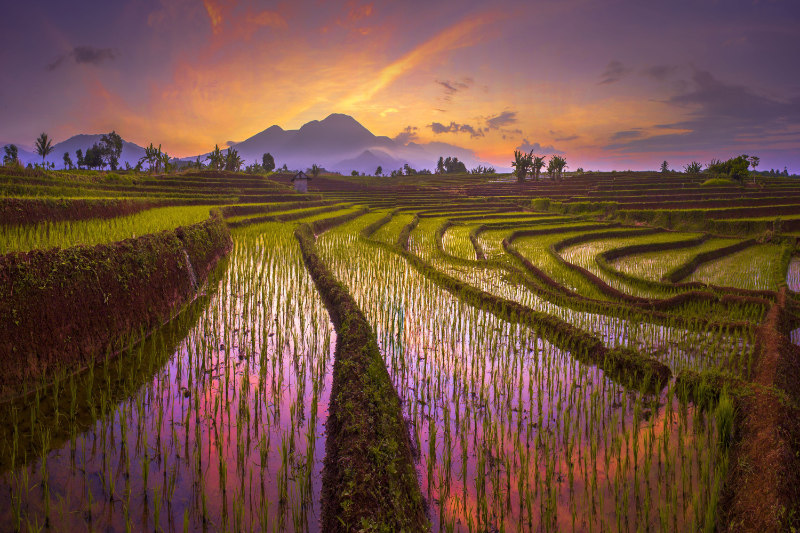 Terrace Rice Fields in North Bengkulu