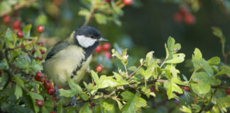 A great tit in a hawthorn hedge