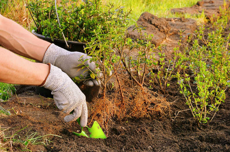 Plant a hedge Get the depth right when planting a hedge