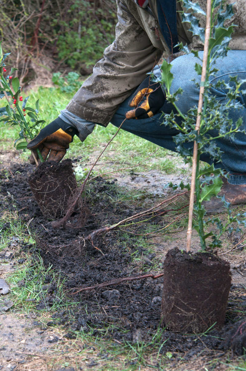 Plant a hedge Plant them during their dormancy