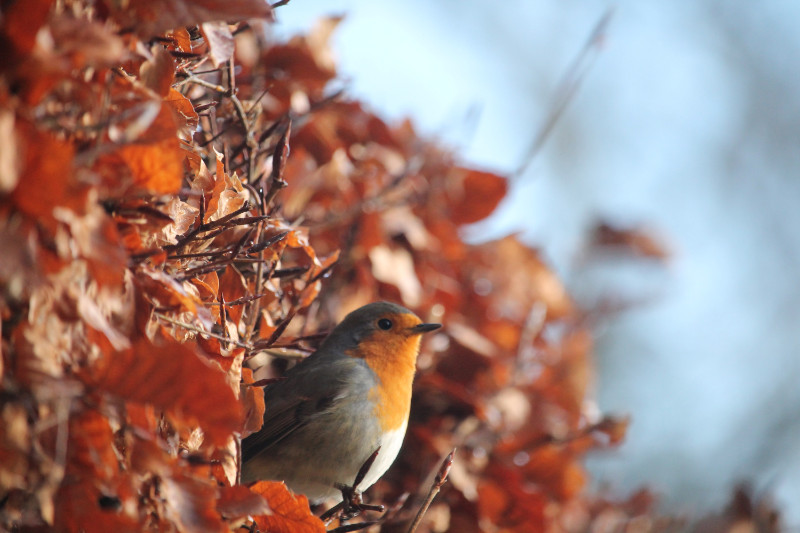 Plant a hedge Hedges are great for sheltering wildlife