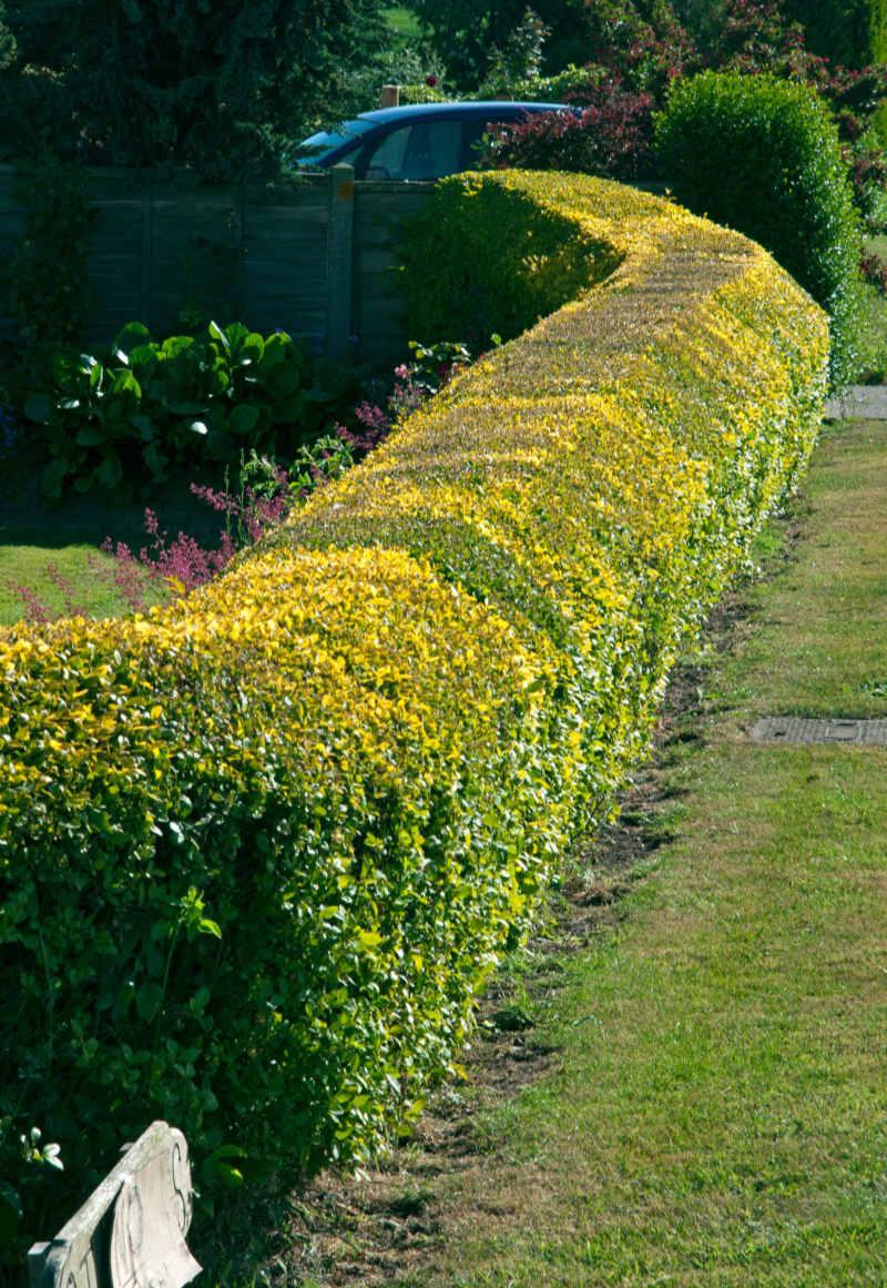 Recently trimmed Ligustrum (privet) hedge with shaped top.
