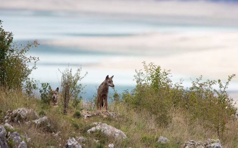 ouple of Apennine wolfs with Barrea lake on the background. Abruzzo, Italy