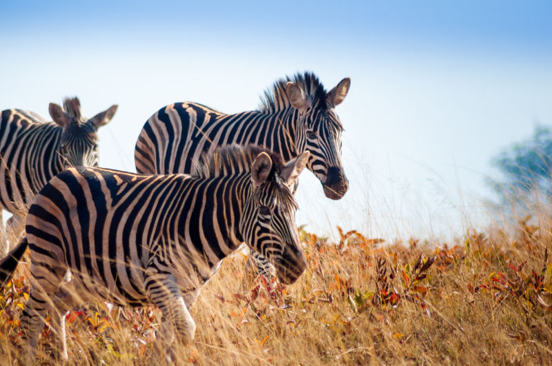 Travel destinations 2020 Group of wild zebras running through long grass at Mlilwane Wildlife Sanctuary.