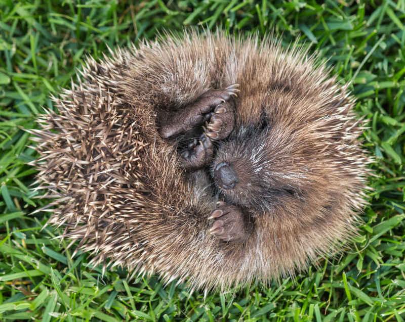 hedgehog-curled-up-winter-shelter
