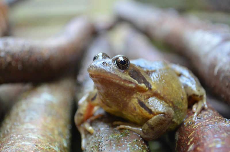 frog-in-winter-hibernation