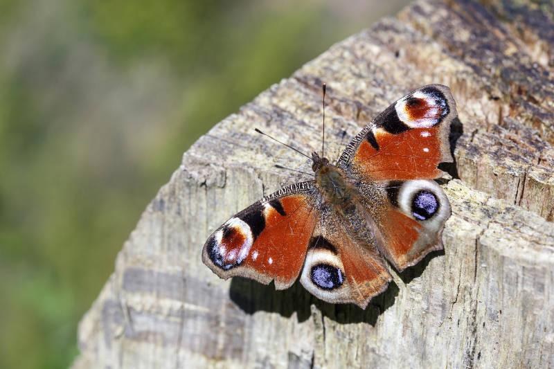 butterflies-are-dormant-in-winter