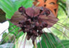 rare and unusual houseplant - The genus Tacca, which includes the Bat flowers and Arrowroot, consists of ten species of flowering plants in the order Dioscoreales, native to tropical regions of Africa, Australia, and south-eastern Asia.