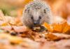 winter-wildlife-hedgehog-hibernation