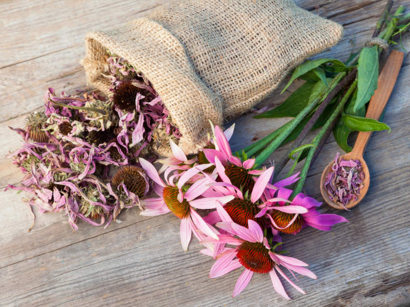 Cold and flu bunch of healing coneflowers and sack with dried echinacea flowers on wooden plank, herbal medicine