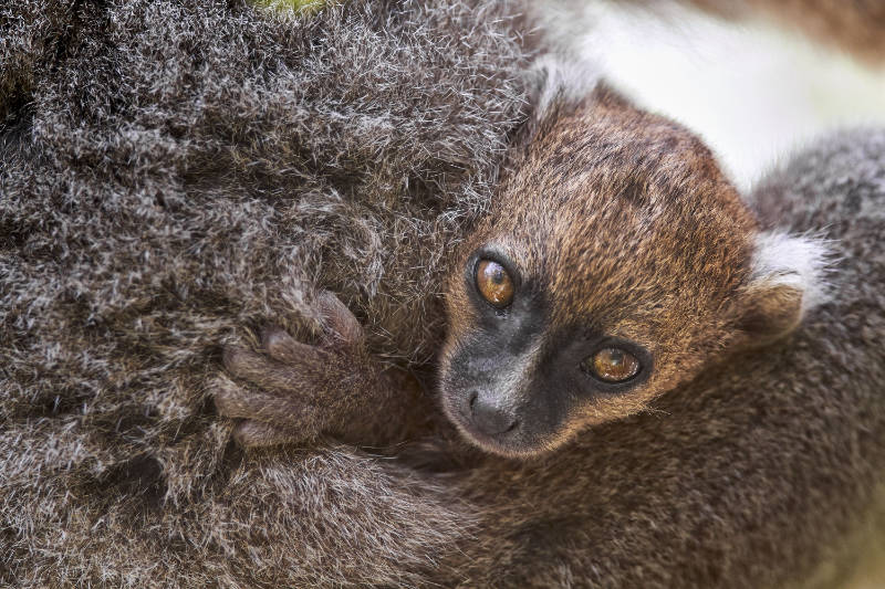 Exotic island destination A baby bamboo lemur, formerly one of the world's 25 most endangered primates. (Sébastien Meys/BBC/PA)