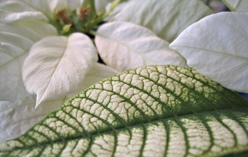 White poinsettias are a good choice. (Ambius/PA)