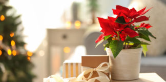 How to keep a poinsettia alive over Christmas