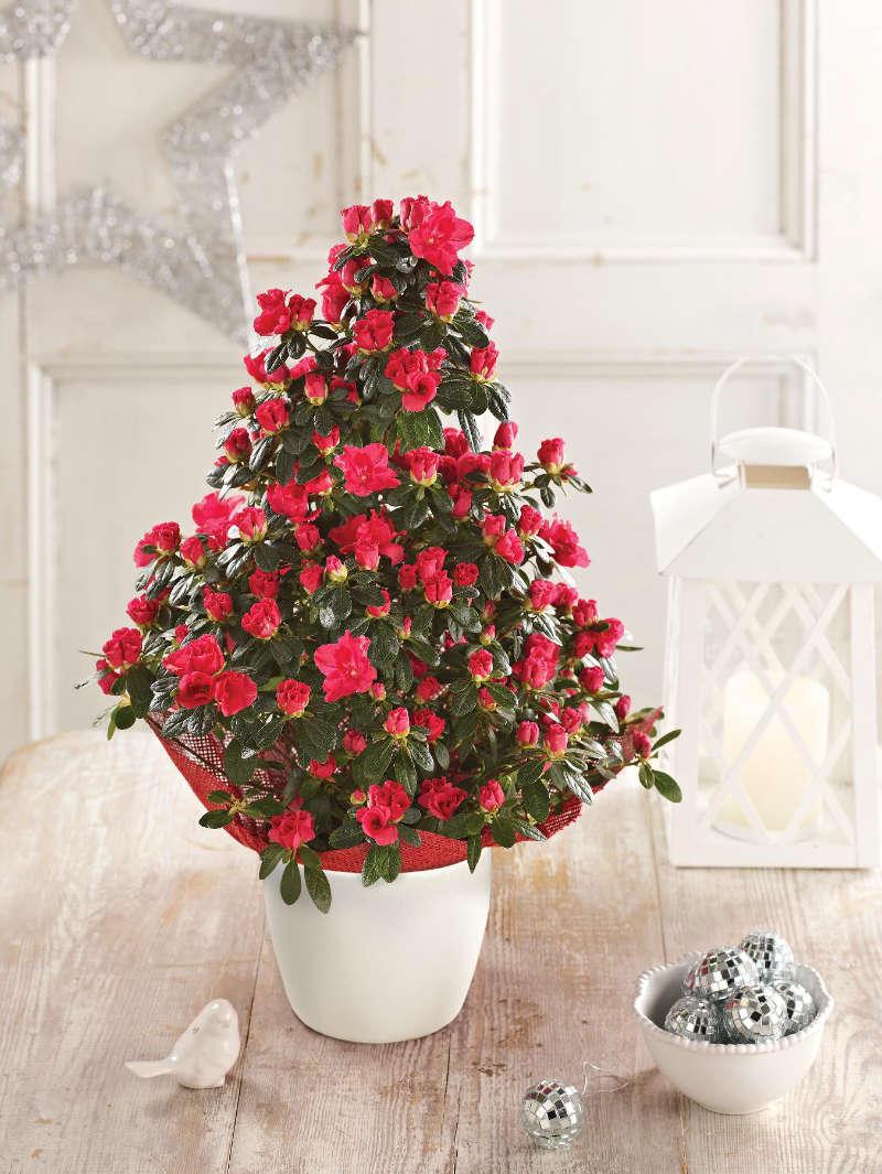 Red azalea tree (Suttons/PA)