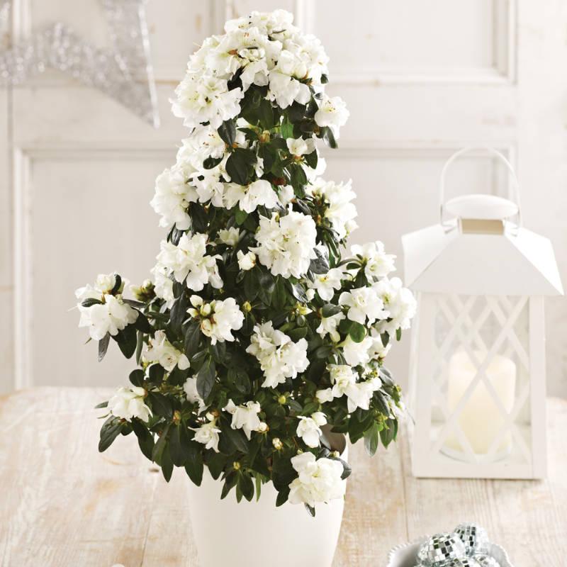 White azalea pyramid. (Suttons/PA)