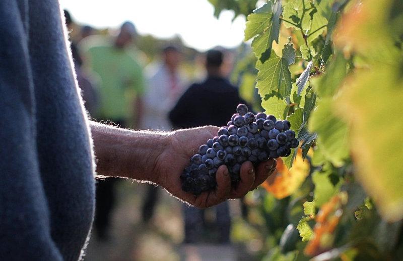Vintage port explained grapes harvest