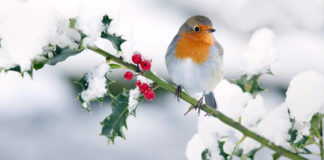 Feeding wildlife in winter photo of a robin on snow covered branch in the garden