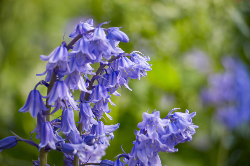Bluebells in flower in an English country garden, North Yorkshire, England, United Kingdom