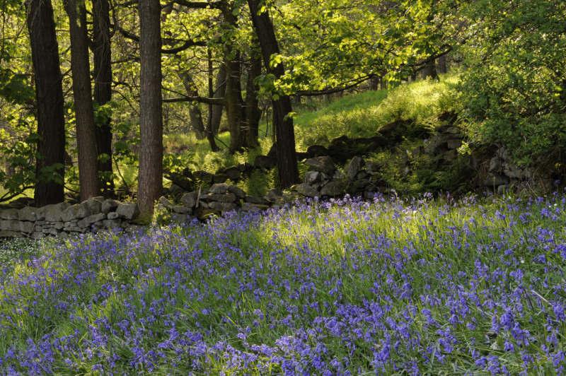 Bluebells Hardcastle Crags