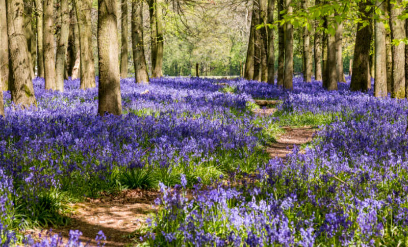 A background image of bluebells in a woodland setting.  Taken in late April on the Ashridge estate in Hertforshire, England.