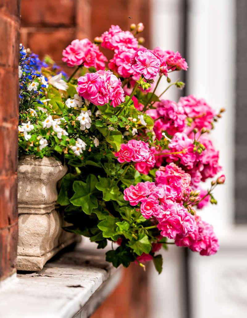 Front gardening make friends Dazzling pink geraniums can be a conversation starter (iStock/PA)