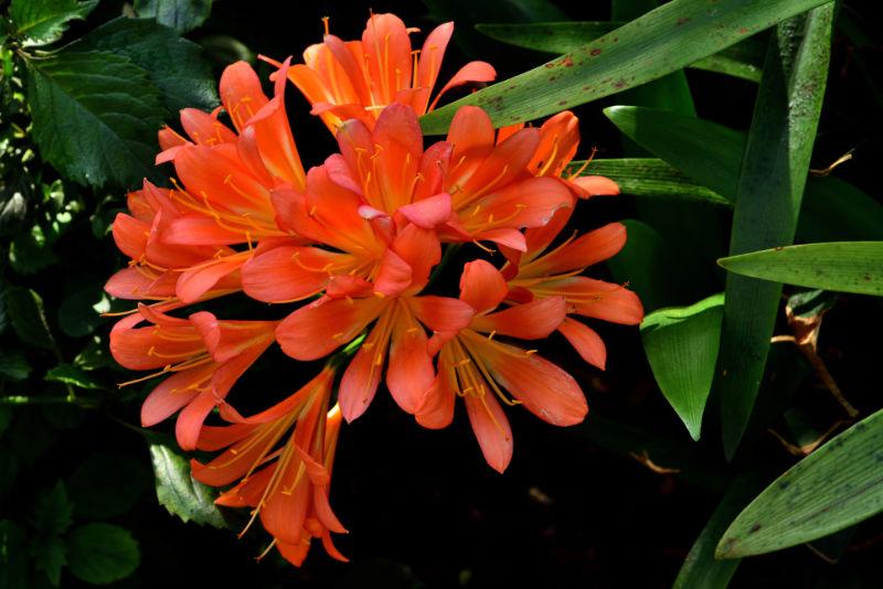 Houseplants that like shade Closeup of Kaffir Lily