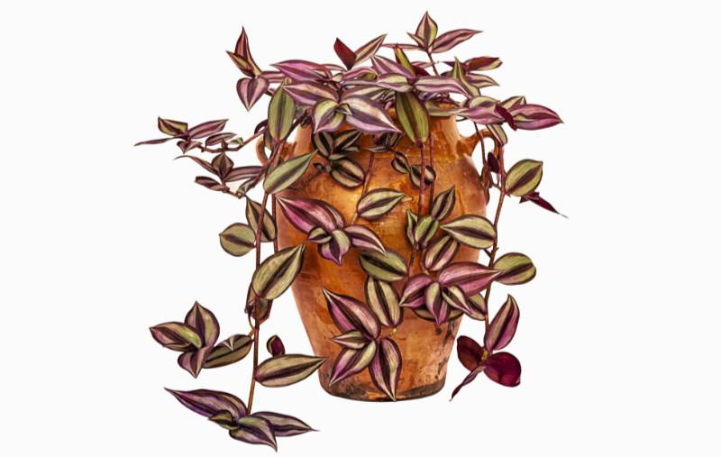 Houseplants that like shade Tradescantia zebrina (also known as Zebrina pendula or the Inch Plant) in clay pot, isolated on a white background