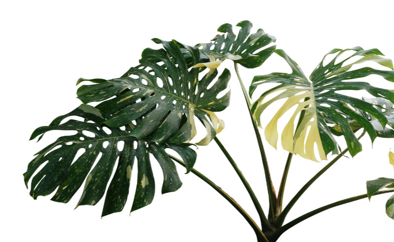 Houseplants that like shade Swiss cheese plant