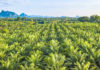 Oil palm tree plantation