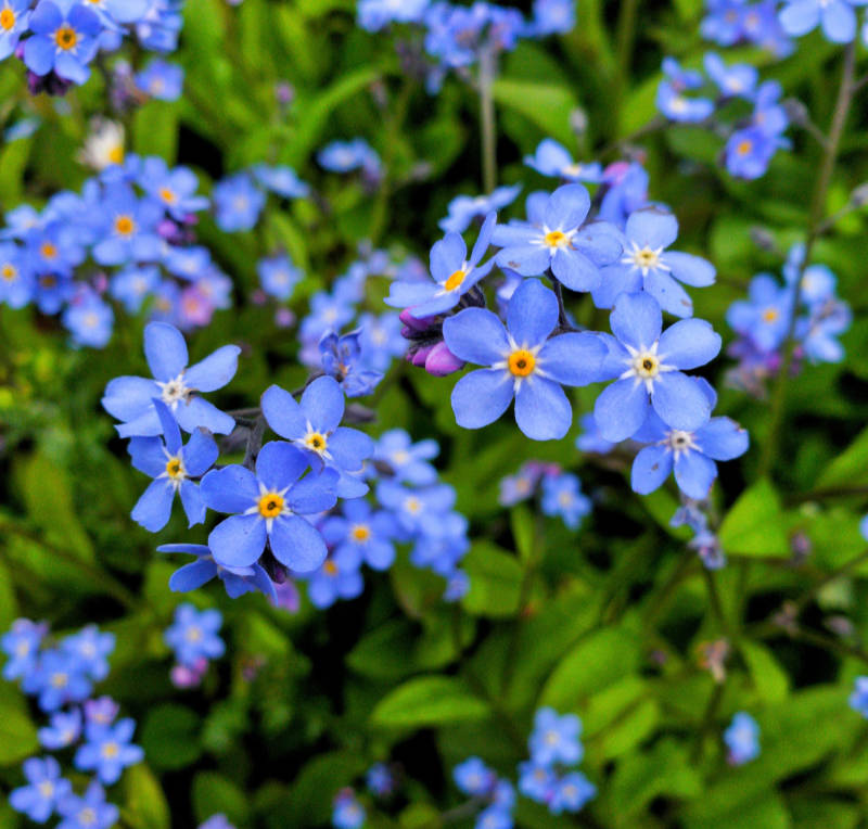 Beautiful and colourful forget me not flower