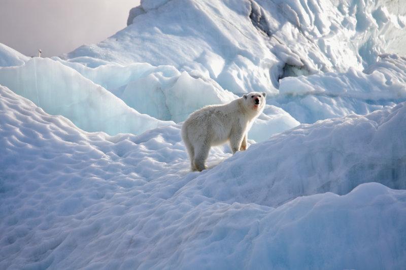 Travel trends 2020 Polar bear in natural environment