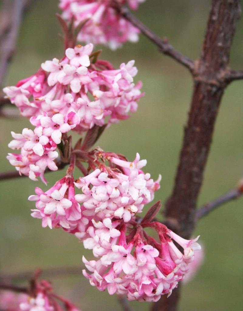 Winter shrubs Dawn Viburnum: V. bodnantense Dawn. Pink flower in winter