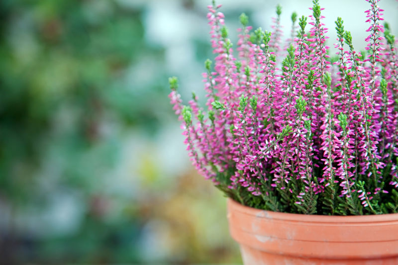 Winter shrubs Still life with Heather in a clay pot
