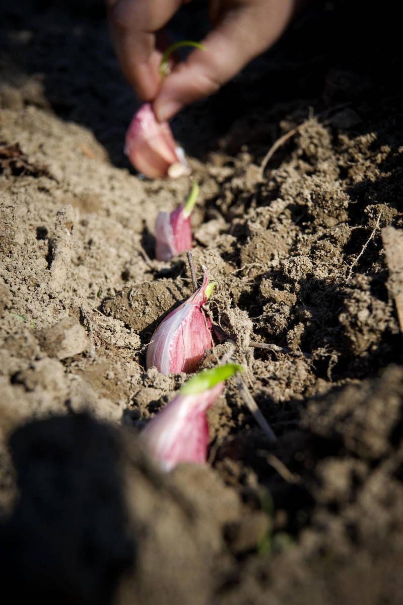 When should you plant garlic?
