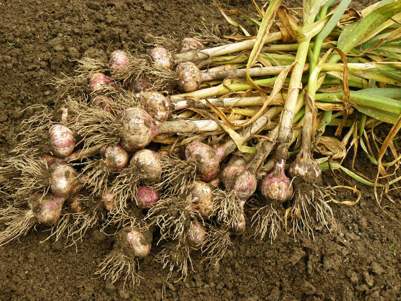When do you harvest when growing garlic in the UK?