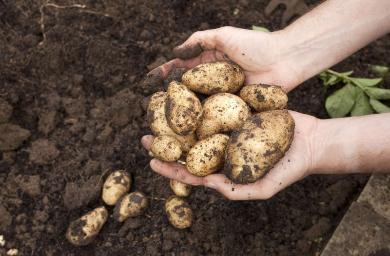 Gardener with a handful of freshly harvested potatoes