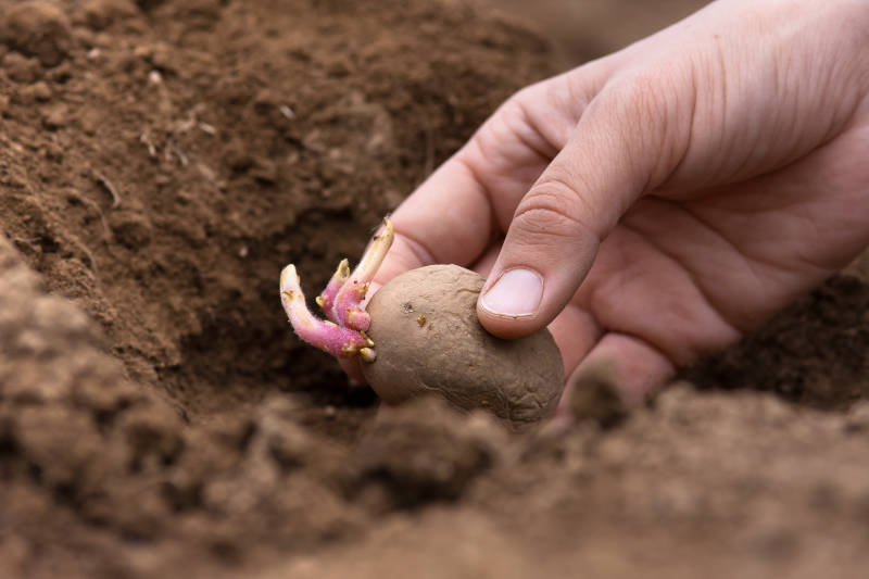 Know when to plant with our how to grow great potatoes growing guide.