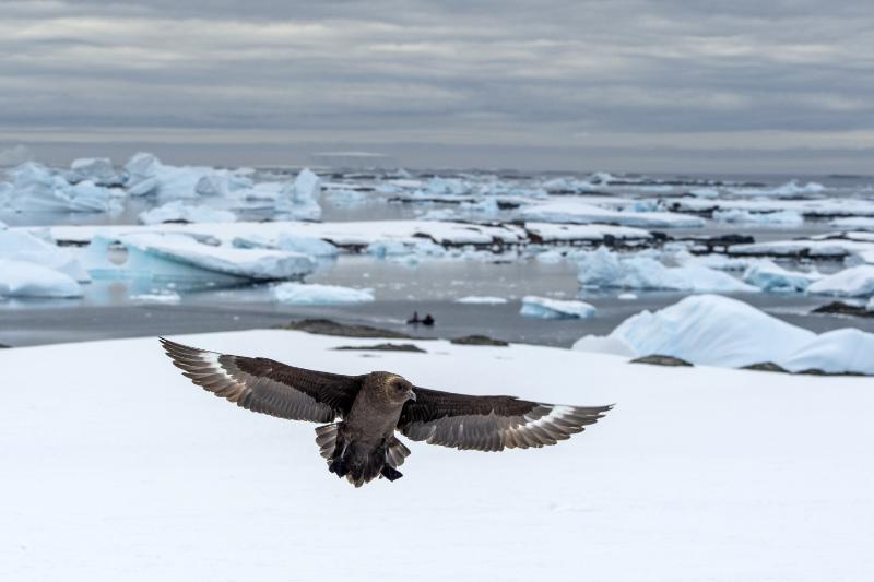 A skua landing on ice (Renato Granieri/PA)