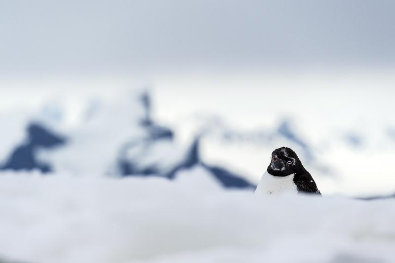 Adelie penguin on Yalour Islands (Renato Granieri/PA)