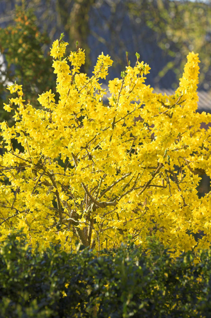 Wait until forsythia has flowered in spring before you prune it (iStock/PA)