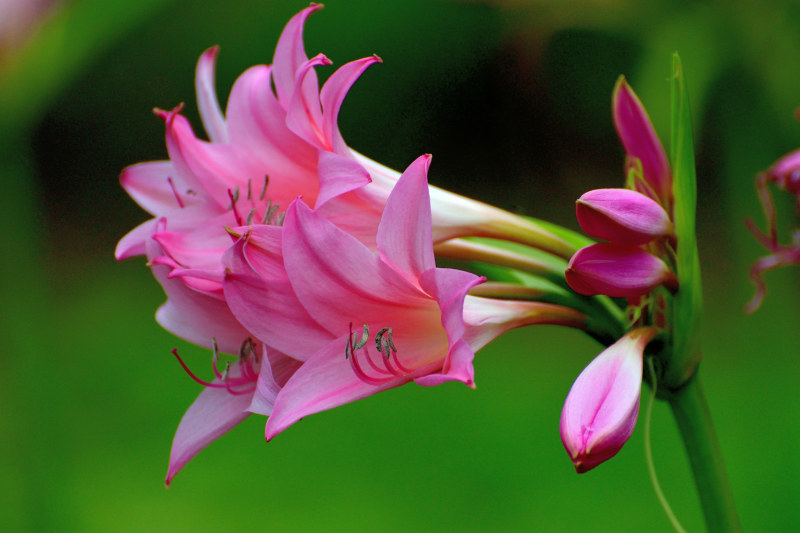 Summer bulbs Crinum powellii, commonly called swamp lily, is a bulbous perennial, sometimes evergreen, with umbels of fragrant, funnel-shaped light pink or white flower held well above the strap-shaped leaves, blooming from summer to early autumn.