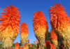 Red hot pokers (iStock/PA)