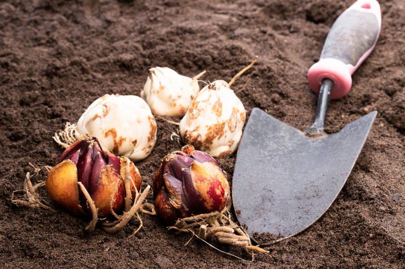 Summer bulbs planting tips