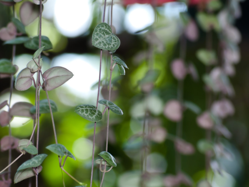 Trailing houseplants String of hearts