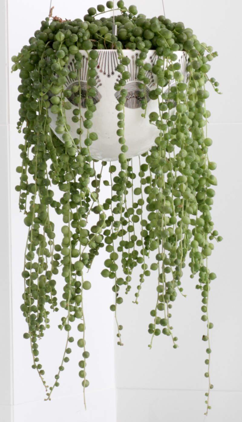 String of Pearls (Senecio rowleyanus) and Nodding Violet (Streptocarpus Caulescens) plants.