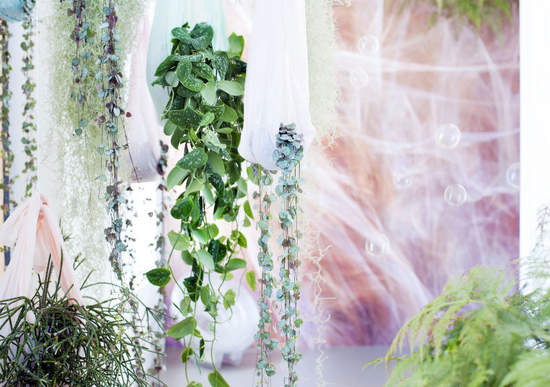 Trailing houseplants Combine ceropegia with other trailers