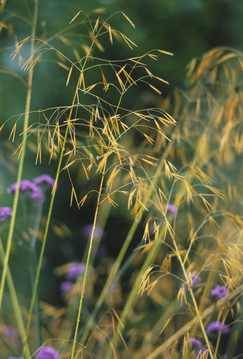 Stipa gigantea is a grass you'll want to run your hands through (Peter Anderson/Dorling Kindersley/PA)