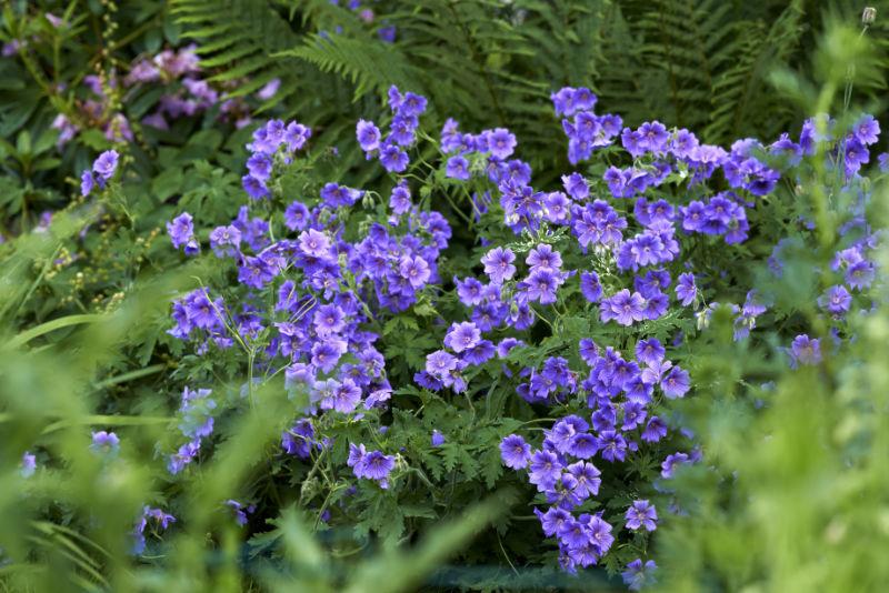 Geranium - a beautiful flower in the garden