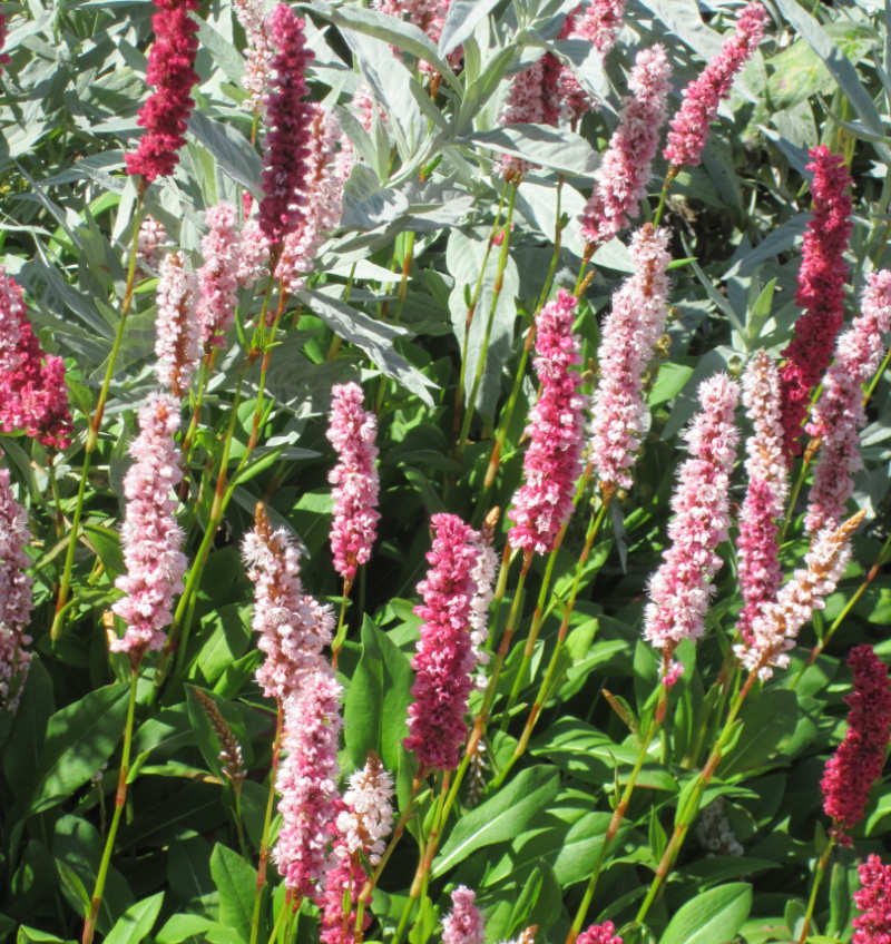 Light pink and crimson blooms of  commonly known as Himalayan Knotweed or Fleece Flower